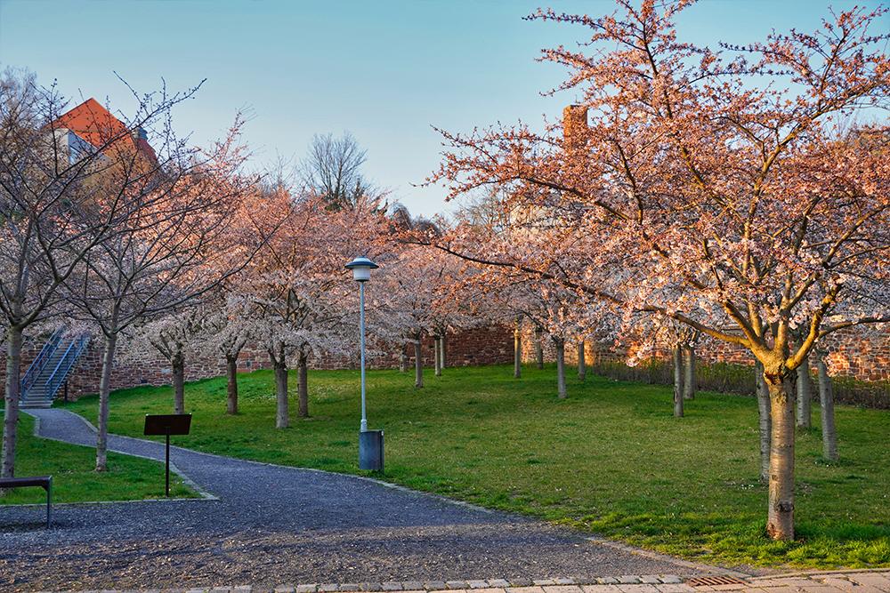 Stadtterrassen in der Kirschblüte, Lutherstadt Eisleben